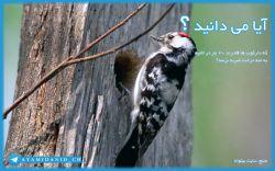 آیا می دانستید که دارکوب ها قادرند ۲۰ بار در ثانیه به تنه درخت ضربه بزنند؟ منبع سایت بیتوته http://www.beytoote.com