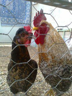 مرغ و خروس عزیز من