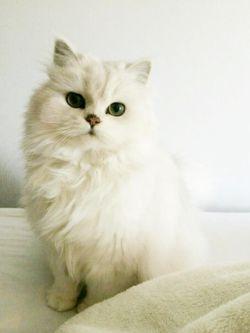 پیشی  گربه  *^▁^*