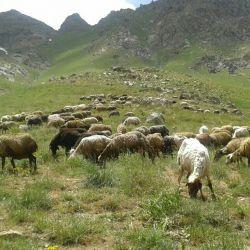 قضاوت کنید گوسفند هایی که از این گیاهان معطر میخورند با سایر گوسفندان شیر و گوشتشان یک خاصیت داره