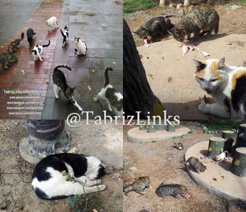 گربه ها در سطح شهر تبریز