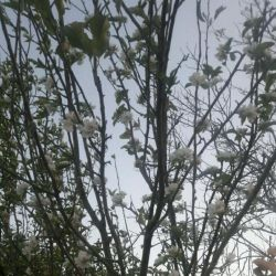 گل دادن درخت سیب در پاییز پدیدای عجیب