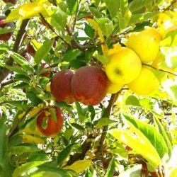 سیب پیوند.در میوه جات هم عمل پیوند یا جفت گیری انجام میشود همانطور که سیب سفید سیب نر وسیب قرمز نقش ماده را دارد برای آنکه ثمر بهتری داشته باشد