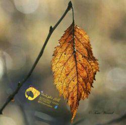 دیدنِ برگی که روی شاخه یِ درختِ پاییزی خشک شده و یادش رفته بیوفتد ... مرا ... به یادِ خودم می اندازد که در زندگی ام ، مرده ام  امّا ... یادم نیست ... !