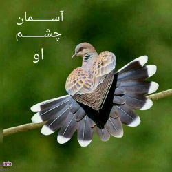 مرغ دل ما را که به كس رام نگردد آرام تویی! دام تویی! دانه تویی تو...  #حبیب_خراسانی