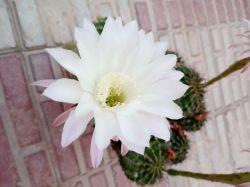 گل كاكتوس