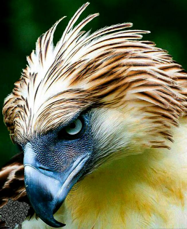 عقاب فیلیپینی پرندهی ملی این کشور است. کشتن این عقاب شکوهمند در فیلیپین 12 سال زندان و جریمهی سنگینی دارد.