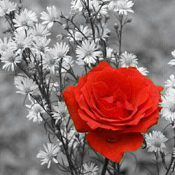 این گل رو تقدیم میکنم به دوستانی که بااین که نبودم چند وقتی توی لنزور ولی هنوز منو فراموش نکردن