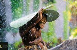 عکس شایسته تقدیر موسسه نشنال جئوگرافیک در سال 2015؛ چتری از برگ بر سر اورانگوتان.  عکاس: اندرو سوریونو پ.ن:اخییی ...چقدرم ناراحته