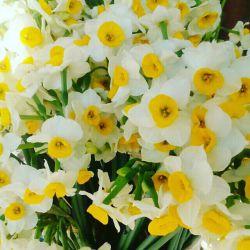 تقدیم ب همه دوستدارای گل نرگس