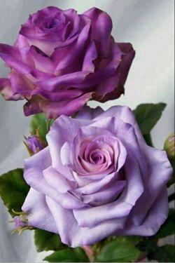 خار خندید و به گل گفت سلام و جوابی نشنید خار رنجید ولی هیچ نگفت ساعتی چند گذشت گل چه زیبا شده بود دست بی رحمی نزدیک آمد، گل سراسیمه ز وحشت افسرد لیک آن خار در آن دست خلید و گل از مرگ رهید صبح فردا که رسید خار با شبنمی از خواب پرید گل صمیمانه به او گفت سلام...  گل اگر خار نداشت دل اگر بی غم بود اگر از بهر كبوتر قفسی تنگ نبود، زندگی، عشق، اسارت، همه بی معنا بود . . . .  #فریدون_مشیری