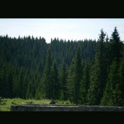 سلام خوبین?:) کولاک دوباره اومد  این عکس درختان شمال کره زمین هست... اونجا فوق العاده هوا سرده اما زندگی جریان داره. این درختان سوزنی برگ مثل کاج، تو جنگل های سوزنی برگ قرار دارن...  طبیعت طوری این ها رو تکامل داده که برگاشون سوزنی بشه تا مقابل سرما و سنگینی برف مقاوم باشن. #جنگل_های_سوزنی_برگ مشهور به #تایگا