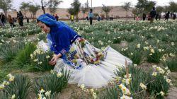 جشنواره گل نرگس جره _کازرون