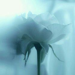این گل تقدیم یه دوست خوب یه رفیق یه عزیز و یه هم صحبت بی همتا ... ناخواسته دیروز ناراحتش کردم و دل آزرده شده از دستم خواستم عذر خواهی کنم بلکه آشتی کنه بازم ببخشید خب ... @reza202099