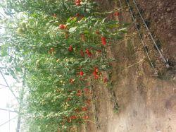 گلخانه گوجه فرنگی عمو