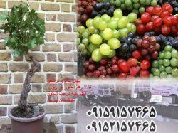 درخت انگور ترکیبی نهالستان پارس