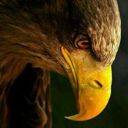 به هرکسی قدِ لیاقتش پرو بال بدید   که هر جوجه خروسی   فک نکنه عقابه..