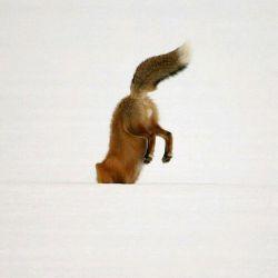 #حیوانات #روباه  #animals #mamals #fox