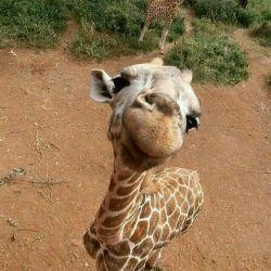 چیه؟ خیلی خوشگلم؟ :) #giraffe #animals #زرافه #حیوانات