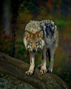 عشق امروزی مثل این گرگه کمین کرده احساس خطر میکنم !!!