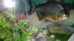 ماهی پیرانا خطرناکترین ماهی آمازون . حالا ببینچطور من دربدر باید غذا بهشون بدم