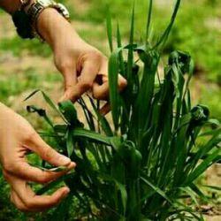 گره كردن سبزه هاكه خرافات است توقول بده مى آیى من یك روز نه  هرروز زمین رابه آسمان گره میزنم...