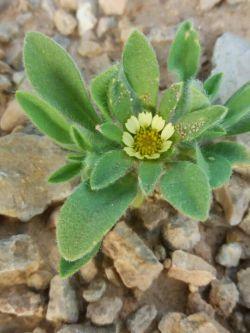 گل کوهی