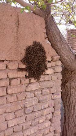 بچ زنبور عسل همی الان