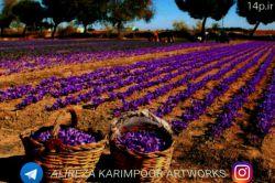 عکسی زیبا در استان فارس در شهرستان استهبان از مزرعه زعفران   پیج اینستاگرامم:alireza__karimpoor