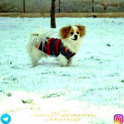 عکسی از سگه دوستم نژاد پیترز    پیج اینستاگرامم:alireza__karimpoor
