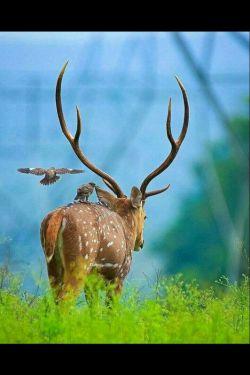 #گوزن #حیوانات  #deer #animals