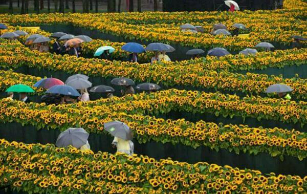 هزار تویی از ۱۲۵هزار گل آفتاب گردان در ورودی موزه ون گوک آمستردام هلند...