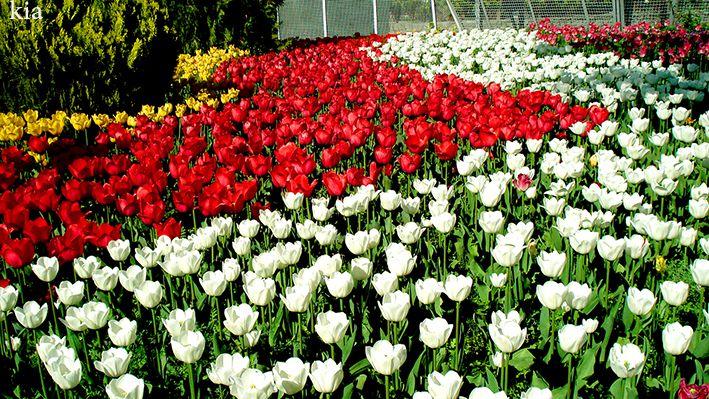 عکس از خودم..جشنواره گلهای لاله استان البرز..iso100...نور خورشید ملایم..کنتراست دوربین طبیعی..بدون سه پایه..تنظیم نور زیرصفر دوربین..