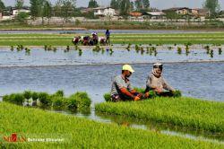 کشت نشا برنج در شالیزارهای شمال#ایران