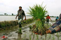 کشت نشا برنج، شمال کشور