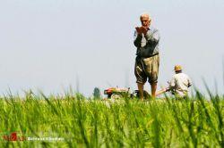 نماز خواندن مرد زحمتکش کشاورز در مزرعه کشت برنج،شمال#ایران
