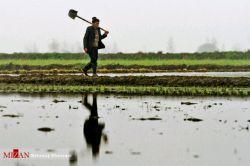 کشاورز زحمتکش در شالیزار