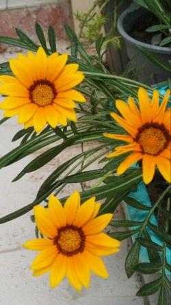 سلام بر دوستان گرامی. خوشحالم دوباره در جمع شما هستم. متشکرم از همه دوستانی که به یاد من بودند.سپاسگزارم. این گلهای گازانیا خودم کاشتم ،تقدیم به مهربانی های شما بزرگواران.