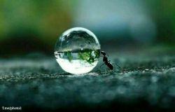 عکسی نزدیك از یك مورچه، که یک قطره آب را دفع میكند !  تبارك الله احسن الخالقین ...