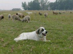 چرا گوسفندان بیشتر از سگها هستند؟ سگها در سال دوبار و در هربار 6الی15توله سگ میزایند.. و گوسفندان دو بار در سال ودر هر بارداری یک گوسفند یا دوتا میزایند..و گوسفند خورده میشوند ..آیا این برکت است ؟؟؟؟؟