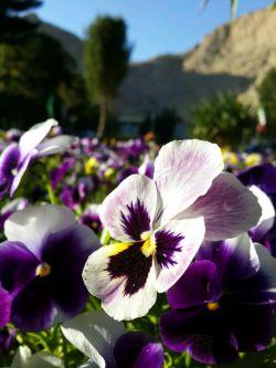 #hamrah1 _ گل بنفشه زیبا- طاق بستان کرمانشاه - بهار 95