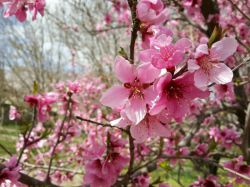 #hamrah1_شکوفه درخت شلیل -بهار 96 -شهرستان هرسین