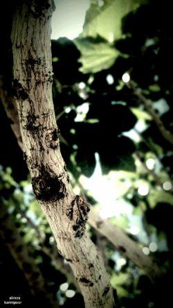 عکسی از یک شاخیه انجیر