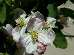 #hamrah1 _ شکوفه سیب  به همراه یه مورچه که پشت پرچم گل مخفی شده!!! - حیاط خونه خودمون - بهار 95