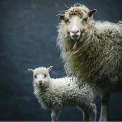 گاو اولی : ماااااااااا؟ گاو دومی : مااااا مااااا ...گوسفند وارد ماجرا میشه : بــــه! گاو اولی : مااااا...گوسفند دومی : بـــه! گوسفند اولی : به به....نه واقعا نشستی این گفت و گو رو تا آخر خوندی؟ الانم دنبال بقیه ماجرا هستی؟ آخه چرا؟ چه فکری کردی؟