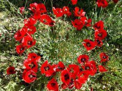 #hamrah1_ یه حلقه از گل شقایق دوست داشتنی توسط خودم