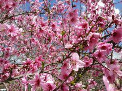 #hamrah1 _شکوفه شلیل خوووشمزه