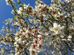شکوفه درخت بادام _  باغات شهرستان هرسین