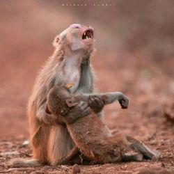 تصویر تاثیربرانگیز که نشان دهنده ی غم واندوه یک ماده میمون که نوزادش ازهوش رفته بود ، وتصور میکرد که بچه اش بین دستانش مرده... این احساس یک حیوان بی عقل،، پس تو چرا ای آدم ضعیف...  تصویر گرفته شده درجابالفور هند