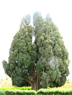سرو۴۵۰۰ساله در ابرکوه،سومین درخت پیر جهان